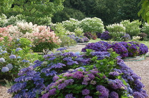 Collection d'Hydrangea Shamerock
